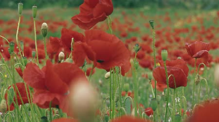 ansichtkaart : close-up van een poppy veld panorama Stockvideo