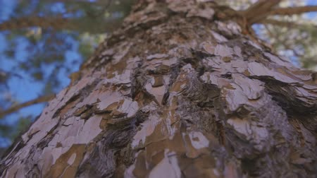 csúcs : close up of the bark of a huge pine and climbing the trunk of a pine tree Stock mozgókép