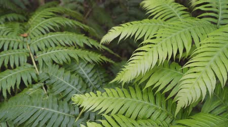 невозделанный : Thickets of ferns in a humid tropical forest