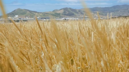 The wind swings cereal plants on an agrarian field in a fertile mountain valley. Slow motion video
