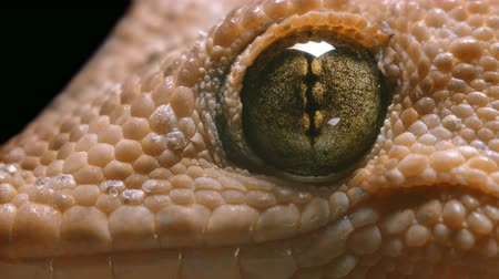 madagaskar : macro video gecko eyes, which often breathes Stok Video