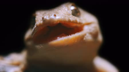 madagaskar : close-up portrait of a gecko with an open mouth and sharp teeth