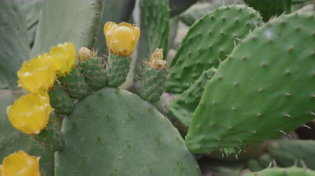 spiky : Beautiful cactus blossom with yellow flowers that insects like Stock Footage
