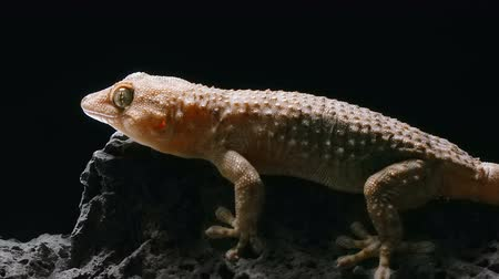 madagaskar : the gecko froze and crouched on the stone, but suddenly running away from danger during night hunting Stok Video