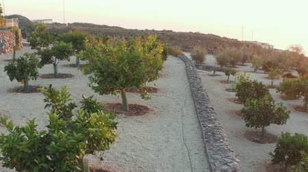 eaten : orchard of young orange trees with juicy ripe oranges on the branches in the Spanish mountain province