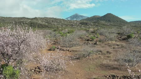 subtropical : Early spring flowering of almond trees in the root valley of a volcanic island