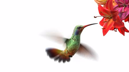 flower : Humming bird, beautiful 3d animation Stock Footage