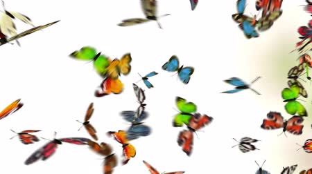fosco : butterflies on white background, 3d animation