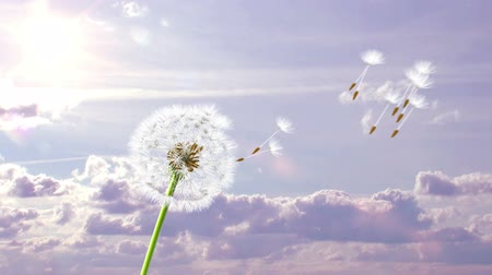 vento : Dandelion, 3d animation on time-lapsed violet sky background Vídeos