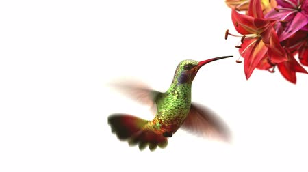 birds flying : Humming bird, beautiful 3d animation Stock Footage
