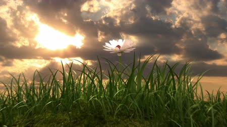 flor cabeça : grassy hill with chamomile and ladybird against the background of time-lapse heaven, beautiful 3d animation