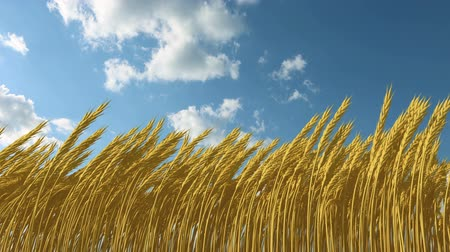 pszenica : growing wheat against the sky, 3d animation and time-lapse clouds