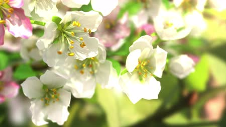 flower : 4k blossoming apple-tree, beautiful 3d animation.