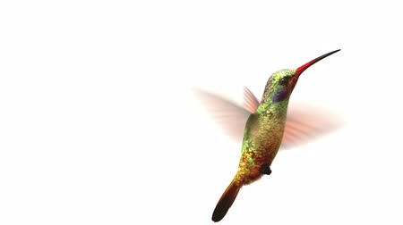 птица : Humming bird on white background, 3d animation.  set your own flower Стоковые видеозаписи