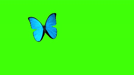 зеленый фон : Morpho Menelaus Blue Butterfly Flying on a Green Background. Beautiful 3d animation with passes of shadow and global illumination. 4K Стоковые видеозаписи