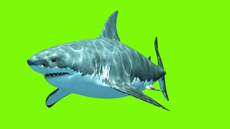 potwór : Great White Shark Megalodon on a green background. Two seamless looped 3d animations. 4K