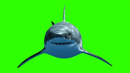 čelisti : Great White Shark Megalodon Slowly Swims to the Camera on a Green Background. Beautiful 3d Animation with a Light and Depth Passes. 4K