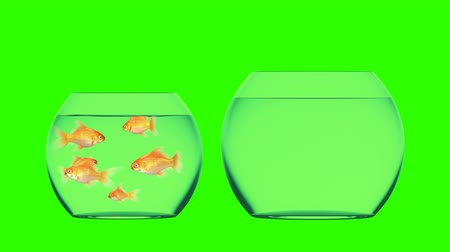 hdtv : Goldfish Jumps into the Bigger Aquarium, Beautiful 3d Animation on a Green Background, Perfect for Using Your Background. 4K Ultra HD 3840x2160 Stock Footage