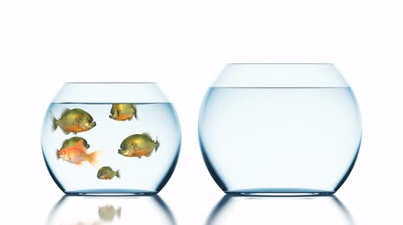 hdtv : Goldfish Escapes from Piranhas, Beautiful Funny 3d Animation on a White Background with a Blurred Reflection, 4K