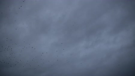 birds flying : Flying birds on dark cloudy sky Stock Footage