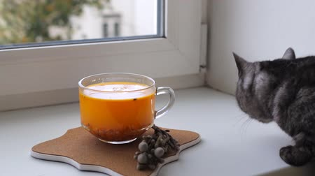 buckthorn : British cat on the window sniffing tea