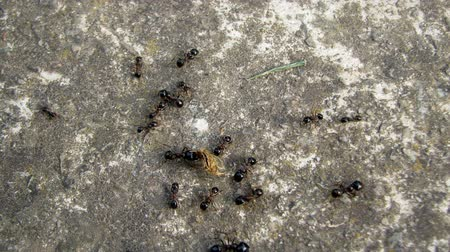 queen ant : Colony of ants working and moving around on the ground.