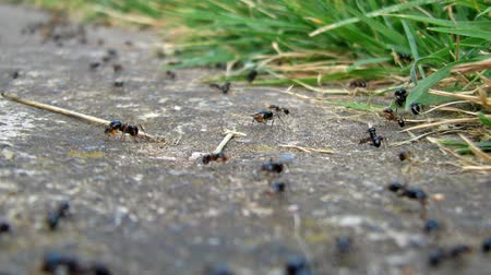 queen ant : Colony of ants wotking and moving around. Stock Footage