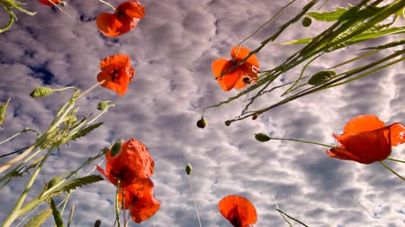 múló : Red poppies and the passing clouds on the meadow.