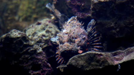 scorpionfish : Black scorpionfish and rocky seabed.