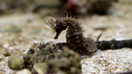 seahorse : Brown seahorse resting in the water. Stock Footage