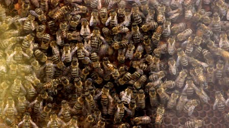 fészek : Honey bees on the honeycomb.