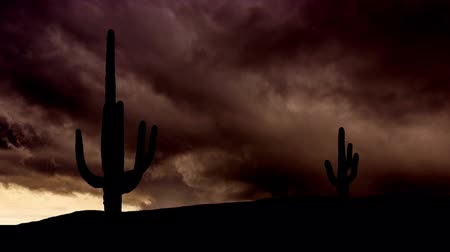 deszcz : The giant saguaro cactus during storm.