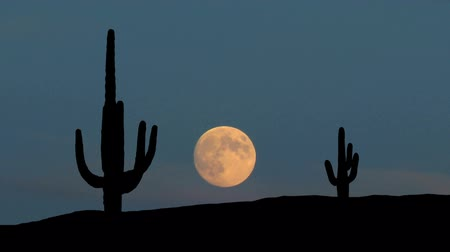 kaktusz : The giant saguaro cactus during moonrise.