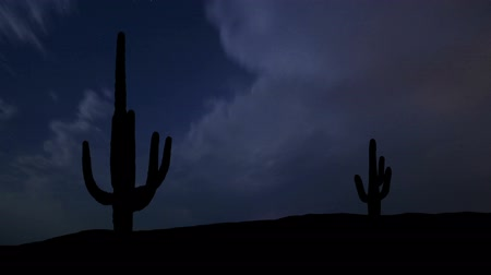 kaktusz : The giant saguaro cactus during night storm.
