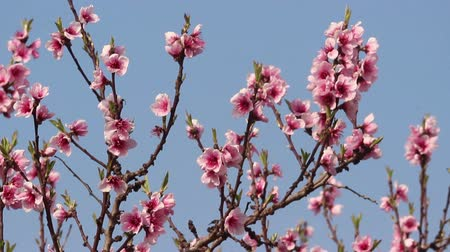 cereja : Cherry blossom and blue sky. Stock Footage