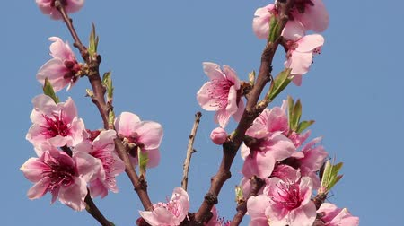fruitful : Cherry blossom and blue sky. Stock Footage