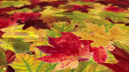4k Autumn Maple Leaves