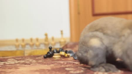 improvised : DECORATIVE BROWN RABBIT SNIFFING THE CHESS PIECES