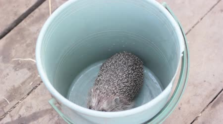 climbed : Little hedgehog climbed into the bucket Stock Footage