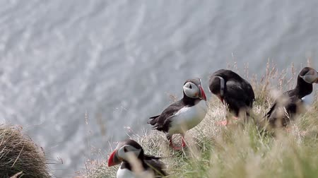 arctica : Iceland, group of puffins. Birds on a cliff, close-up Stock Footage
