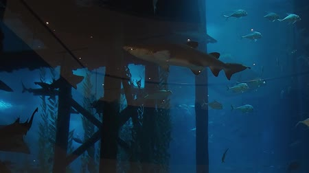 fenyegetés : Sharks swim in a large aquarium, predators and small fish.