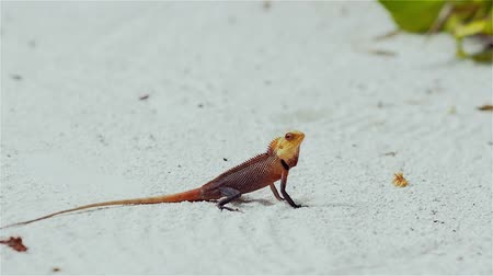 collared : little colored lizard on the sand, wildlife of the tropical