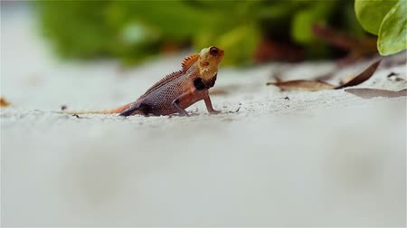 jaszczurka : little colored lizard on the sand, wildlife of the tropical