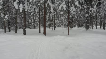 Coniferous forest in winter, pine covered with snow, cold winter landscape