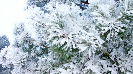filigrana : pine twig with hoarfrost