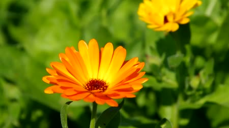 calendula officinalis : calendula  Stock Footage