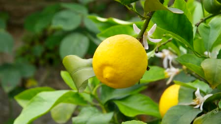 plantio : lemon on tree