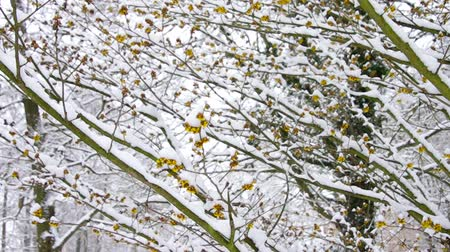 avelã : hamamelis in snow