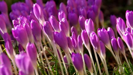 cor de malva : Crocus  Stock Footage