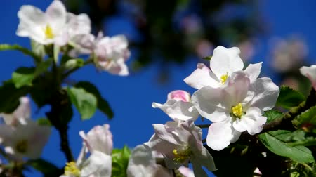 bloesemboom : Apple blossom Stockvideo